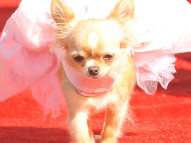 "Screening ""Beverly Hills Chihuahua 3"" en Los Angeles y Houston."